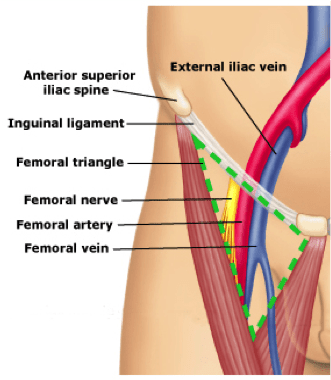 Femoral Vein Anatomy Aliem